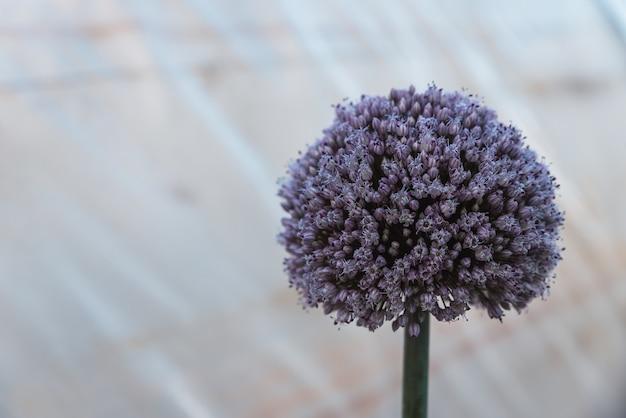 Groeiende bloem met zaden van de ui