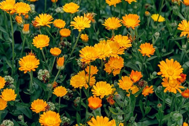 Groeiende calendula-bloemen