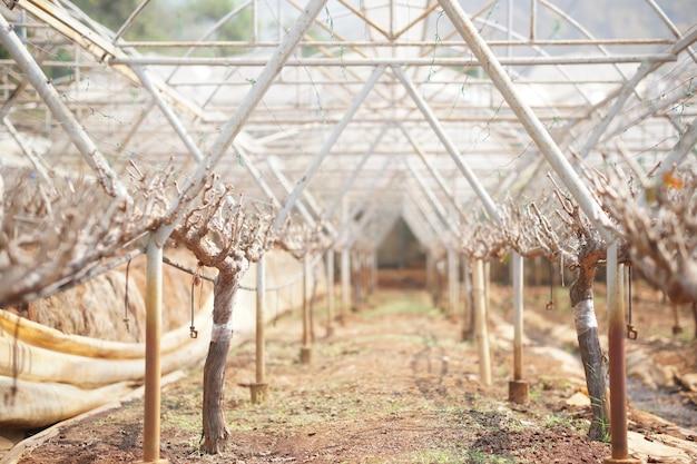 Groeiende druiven fruitboom plant in wijngaard boerderij. wijnbouw boomgaard
