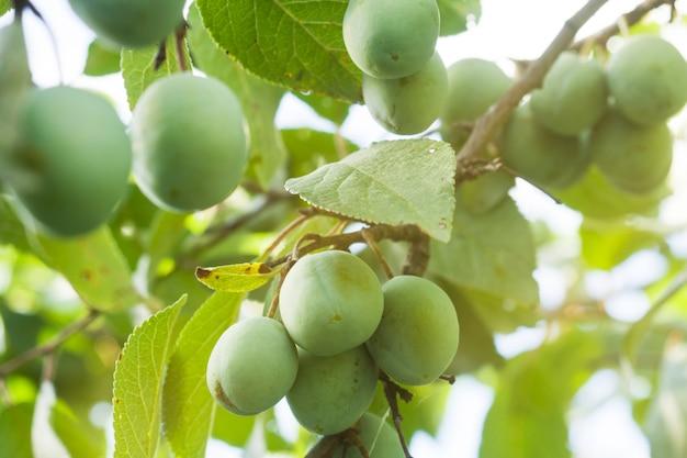 Groeiende groene pruimen die op hun tak hangen