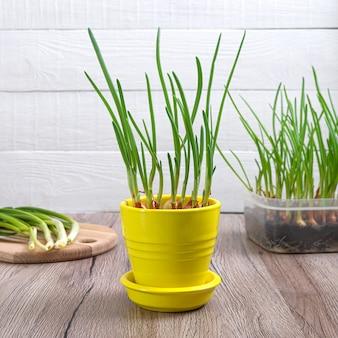 Groeiende groene uien sjalotten. biologische groenteplant in pot.