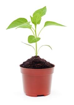 Groeiende nieuwe kleine plant in pot geïsoleerd op wit