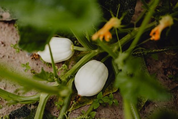 Groeiende witte pompoenen op een boerderij