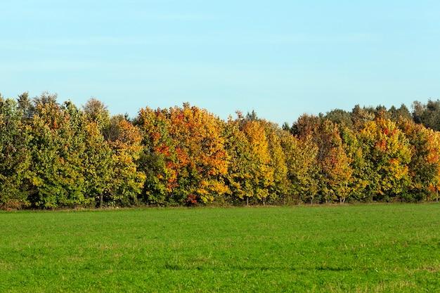 Groeit aan de rand van het bos esdoorns bedekt aan het begin van het herfstseizoen met veelkleurig, geel en rood blad