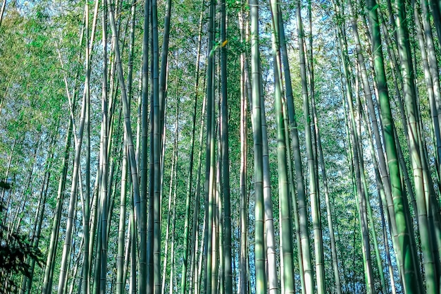 Groen bamboebosje, bamboebos japan achtergrondconceptentextuur