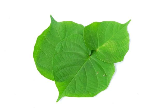 Groen bidarablad dat op een witte achtergrond wordt geïsoleerd