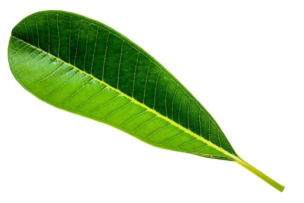 Groen blad (bladeren van plumeria of frangipani of tempelboom).