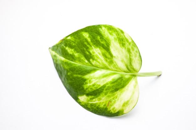 Groen blad close-up op witte achtergrond