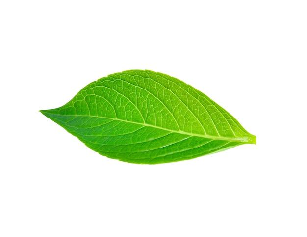 Groen blad dat op wit wordt geïsoleerd