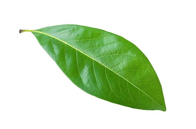 Groen blad dat op witte achtergrond wordt geïsoleerd
