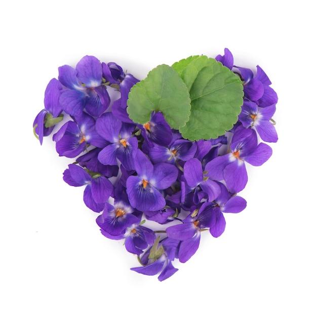 Groen blad en bloemen van hout violet viola odorata geïsoleerd op wit geïsoleerd. medicinale en tuinplant
