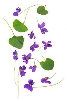 Groen blad en bloemen van wood violet viola odorata geïsoleerd op een witte achtergrond. medicinale en tuinplant