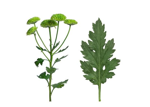 Groen blad en chrysantenbloemen
