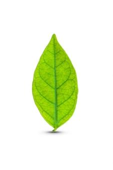 Groen blad geïsoleerd