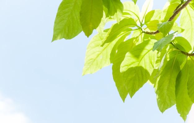 Groen blad laat ontluikend in het voorjaar