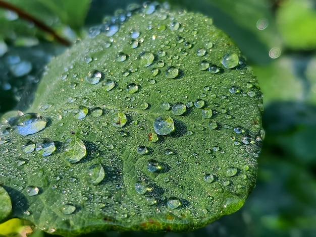 Groen blad met druppels water. dauw druppels op vers groen blad. helder groen blad,