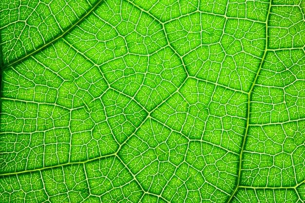 Groen blad, textuurachtergrond.