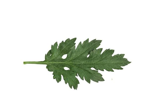 Groen blad van chrysantenbloem