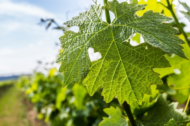 Groen blad van druiven met een hart - een teken van liefde