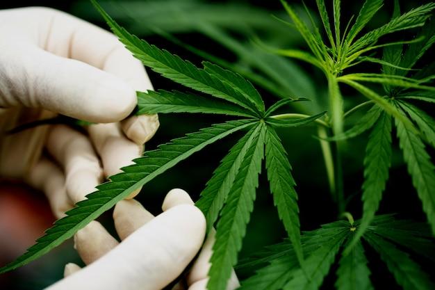 Groen blad van marihuana in een hand