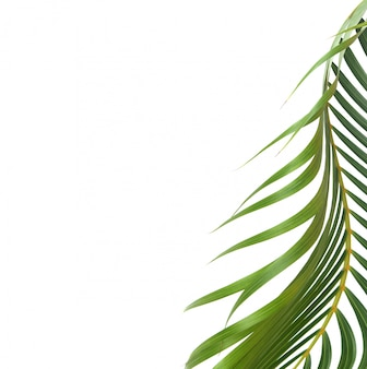 Groen blad van palm op witte achtergrond met uitknippad