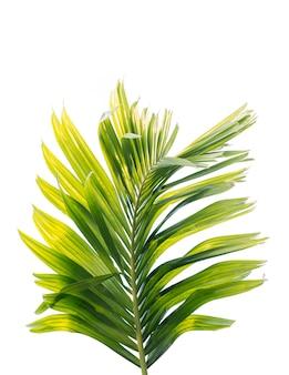 Groen blad van palmboom dat op witte achtergrond wordt geïsoleerd