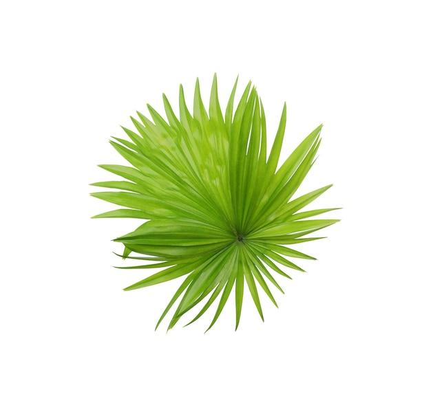 Groen blad van palmboom die op witte achtergrond wordt geïsoleerd
