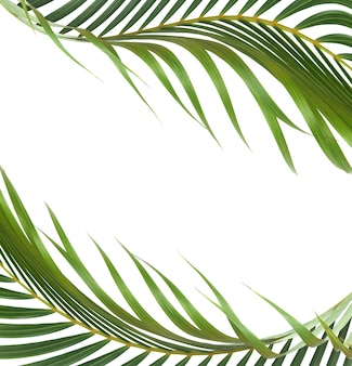 Groen blad van palmboom op witte achtergrond