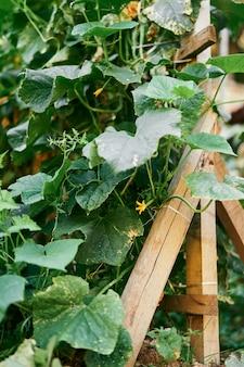 Groen bloeiende komkommerstruik weeft op een houten steun