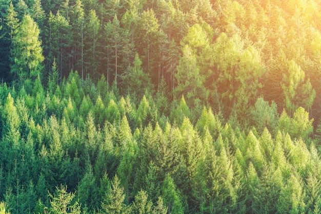 Groen bos van sparren en pijnbomen landschap.