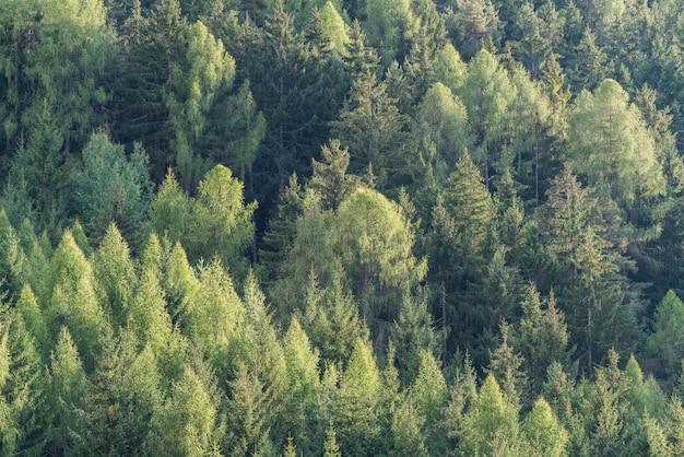 Groen bos van sparren en pijnbomenlandschap.