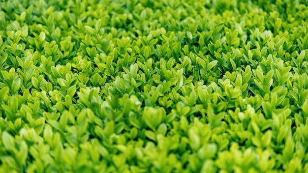 Groen en weelderig gras, close-up weergave