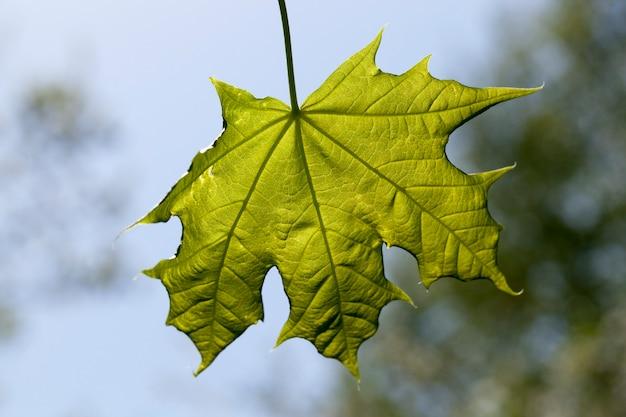 Groen esdoornblad tegen de blauwe hemel