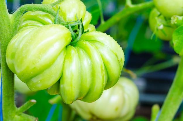 Groen fruit van een onrijpe tomatenbiefstuk op struik