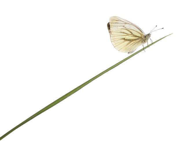 Groen-geaderde witte pieris napi op geïsoleerd gras