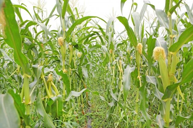 Groen gebied van jonge maïs.