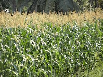Groen gebied van maïs opgroeien in Thailand
