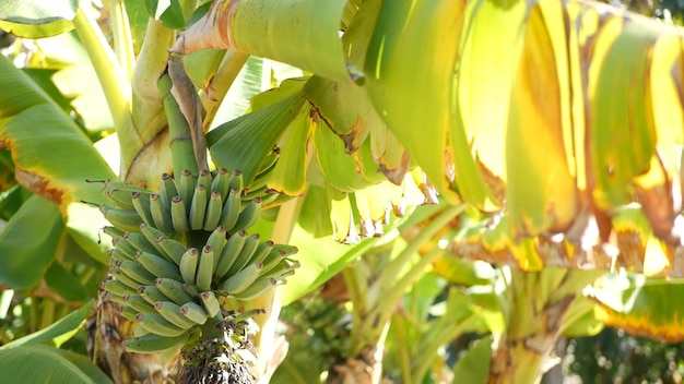Groen geel bananenboom fruit bos. exotische tropische zonnige zomerse sfeer. verse sappige bladeren in zonlicht. zonovergoten amazone jungle regenwoud of agrarische boerderij plantage. zonneschijn en gebladerte.