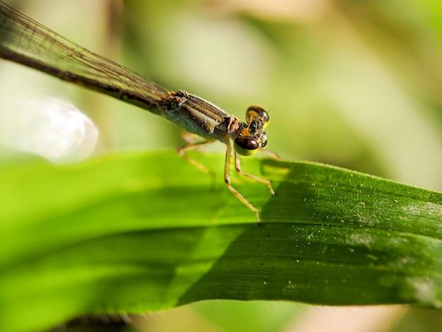 Groen goldeneye zit op een blad van gras. chrysopidae, neuroptera