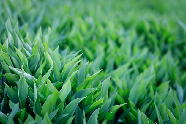 Groen gras achtergrond. lelies van de vallei.