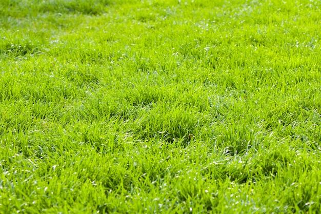 Groen gras achtergrond, zonlicht en groene kleur, schaduwen en lichten, overdag
