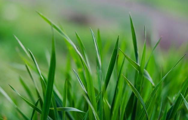 Groen gras close-up als een abstracte achtergrond met ruimte voor woorden