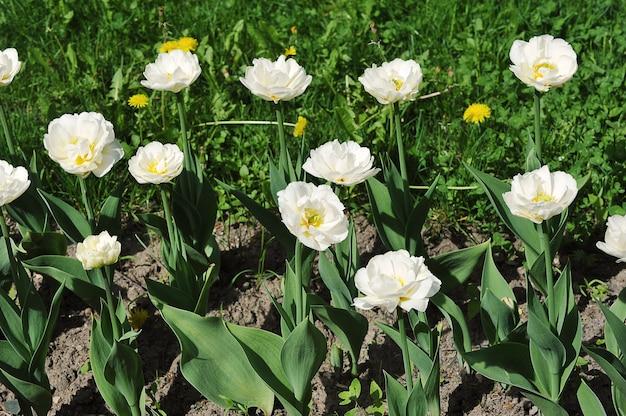 Groen gras en bloeiende witte tulpen