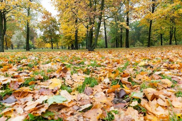 Groen gras en gevallen geel gebladerte van esdoorn in herfst herfstbladeren, foto hieronder bij warm zonnig weer