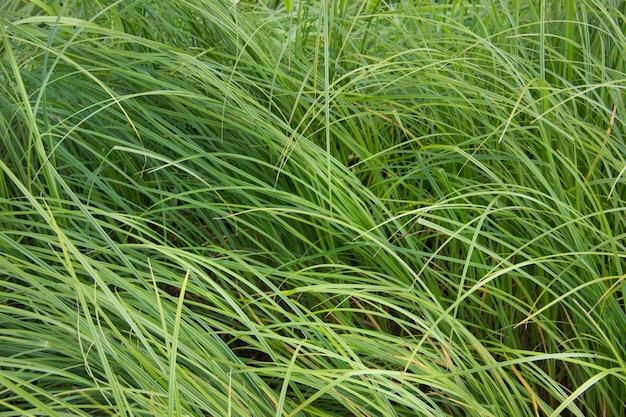 Groen gras. groene achtergrond. de textuur van het gras. natuur.