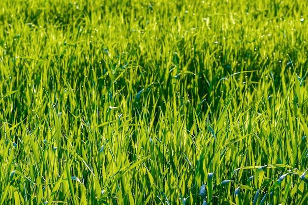 Groen gras op de weide