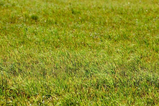 Groen gras, weide veld. zomer natuurlijk gazonoppervlak. mooie grasachtergrond voor ontwerp. weidevee