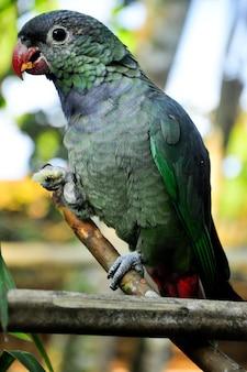 Groen grijze papegaai