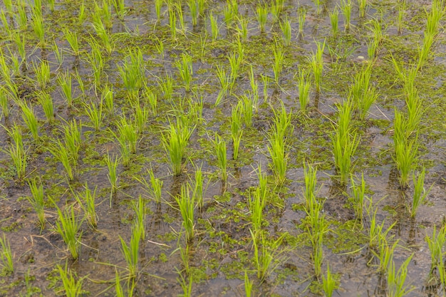 Groen jong padieveld