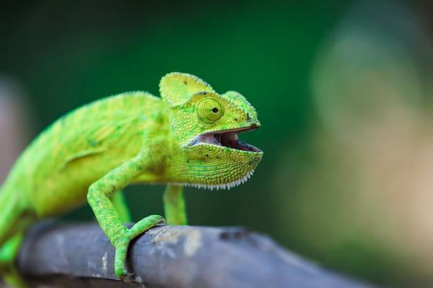 Groen kameleon india